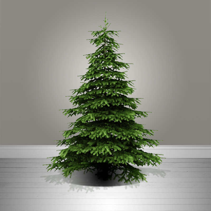 nordman fir christmas tree
